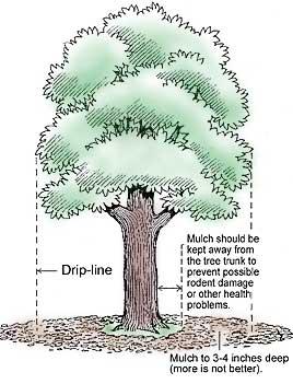 Tree dripline